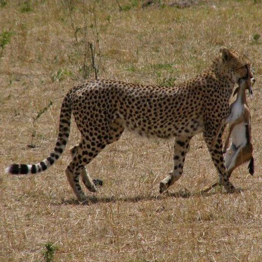 safari-masai-mara-precio